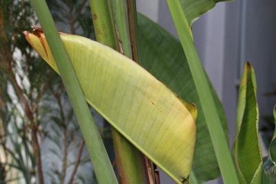 orchideen blätter werden weich