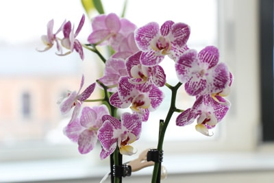 Schmetterlingsorchidee - Phalaenopsis am Fenster