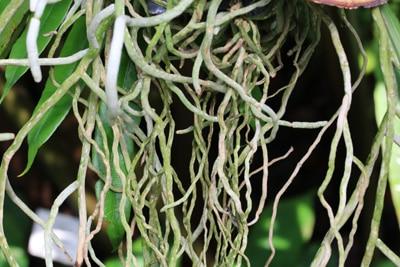 Wurzeln einer Vanda-Orchidee