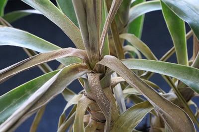Yucca-Palme mit Grauschimmel