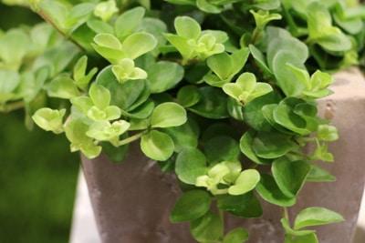 Zwergpfeffer - Peperomia roduntifolia