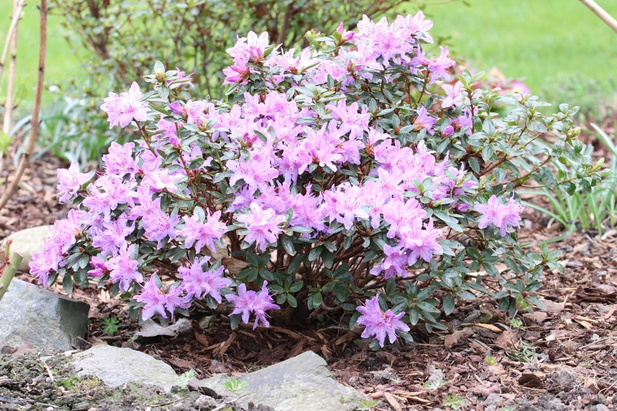 Schattengehölze - Rhododendron