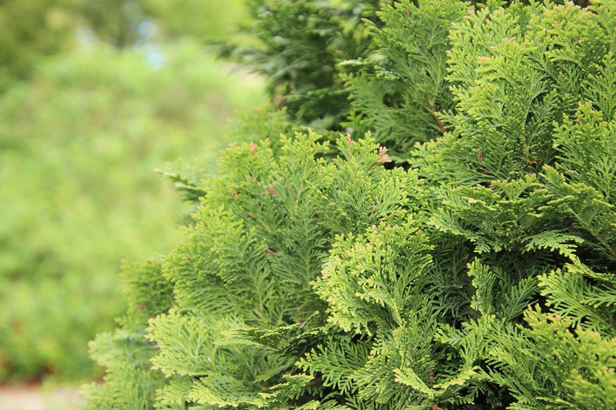 Schattengehölze - Schneinzypresse
