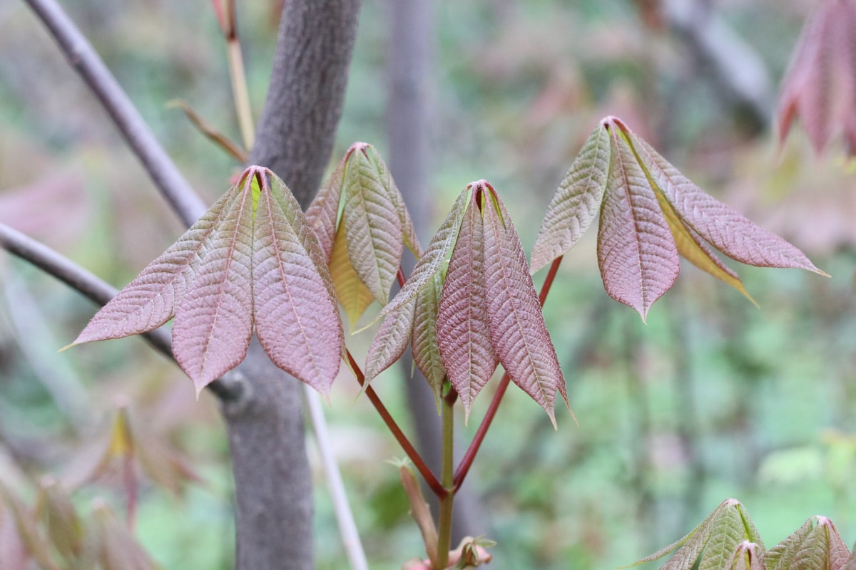 Strauch-Rosskastanie - Aesculus parviflora