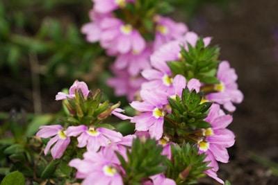 Fächerblume - Scaevola - Sommerblüher