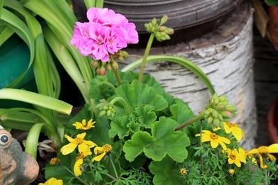 Geranie - Pelargonium