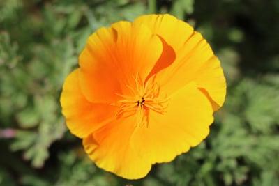 Kalifornischer Mohn - Goldmohn - Eschscholzia californica - Sommerblüher