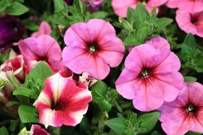 Petunie - Petunia - Sommerblüher