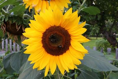 Sonnenblume - Helianthus annuus