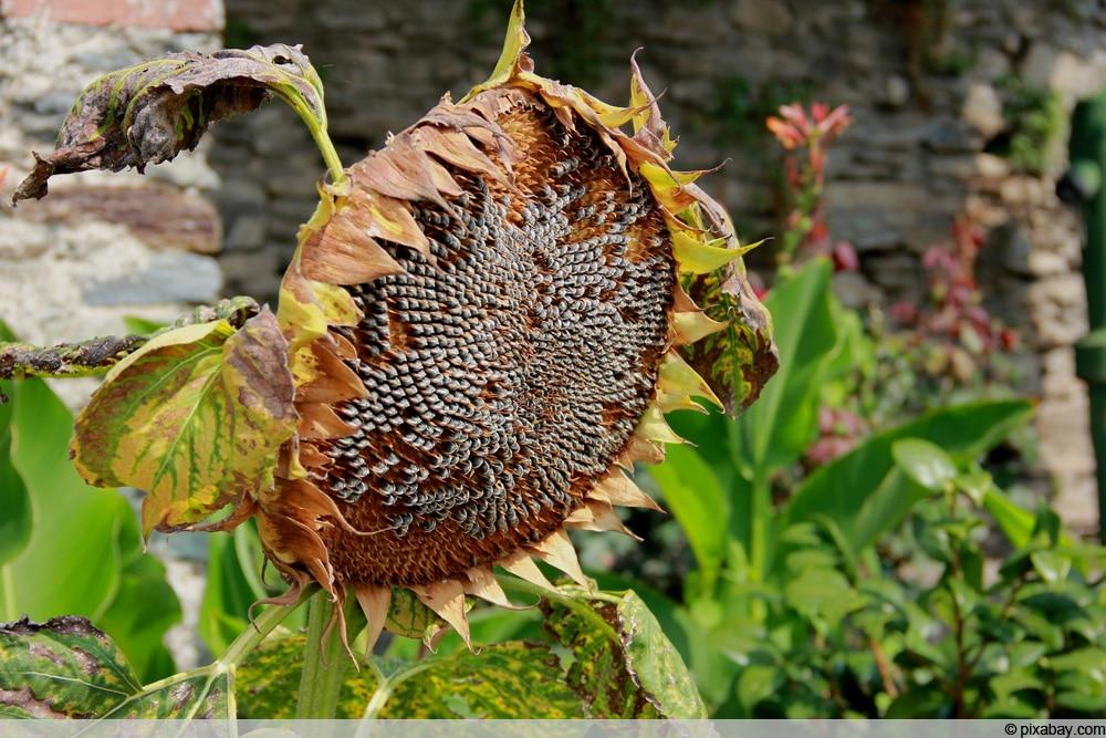 Verblühte Sonnenblume