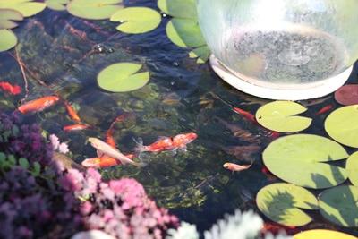 Fischteich Goldfische