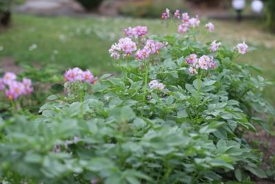 Kartoffelblüte im Beet