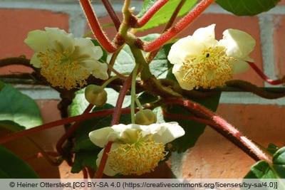 Männliche Kiwi-Blüte mit vielen Staubgefäßen