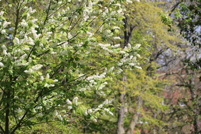 Traubenkirsche - Prunus padus