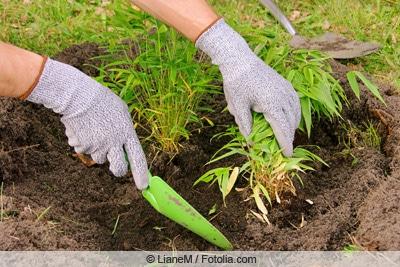 Bambus mit Spaten ausgraben