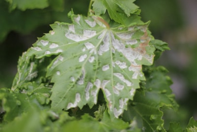 Mehltau an Weinrebe