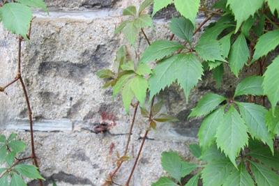 Wilder Wein - Vitis vinifera