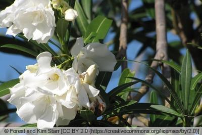 Oleander - Nerium oleander 'Album plenum'