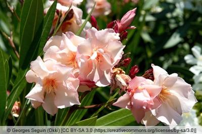 Oleander - Nerium oleander 'Provence'