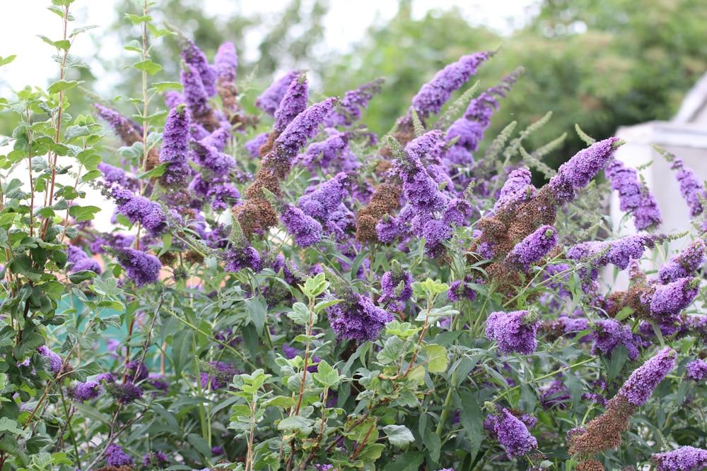 Sommerflieder - Schmetterlingsstrauch - Buddleja davidii