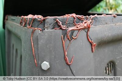 Kompostwürmer - Eisenia fetida