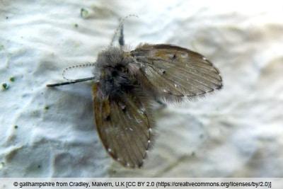 Adulte Schmetterlingsmücke