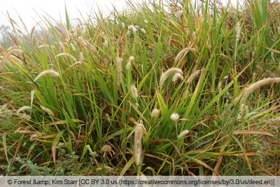 Elefantengras - Pennisetum purpureum