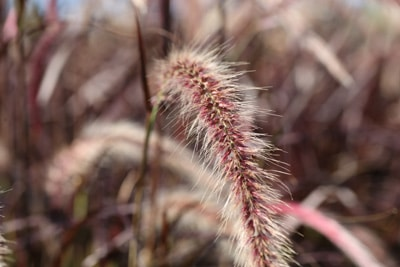 Rotes Lampenputzergras - Pennisetum setaceum 'Rubrum'