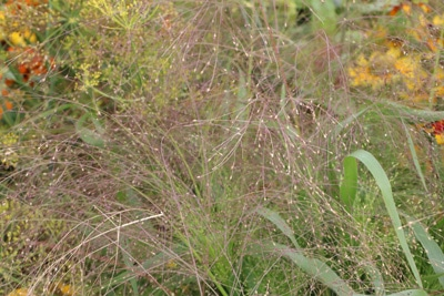 Rutenhirse - Panicum virgatum 'Fontäne'
