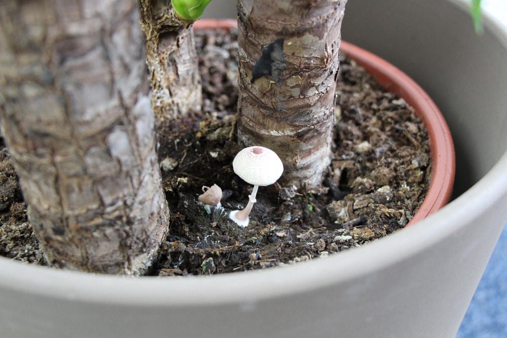 Pilz auf Blumenerde