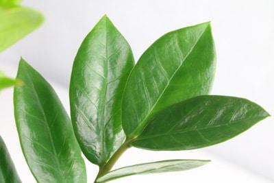 Zamie - Zamioculcas zamiifolia - Glücksfeder