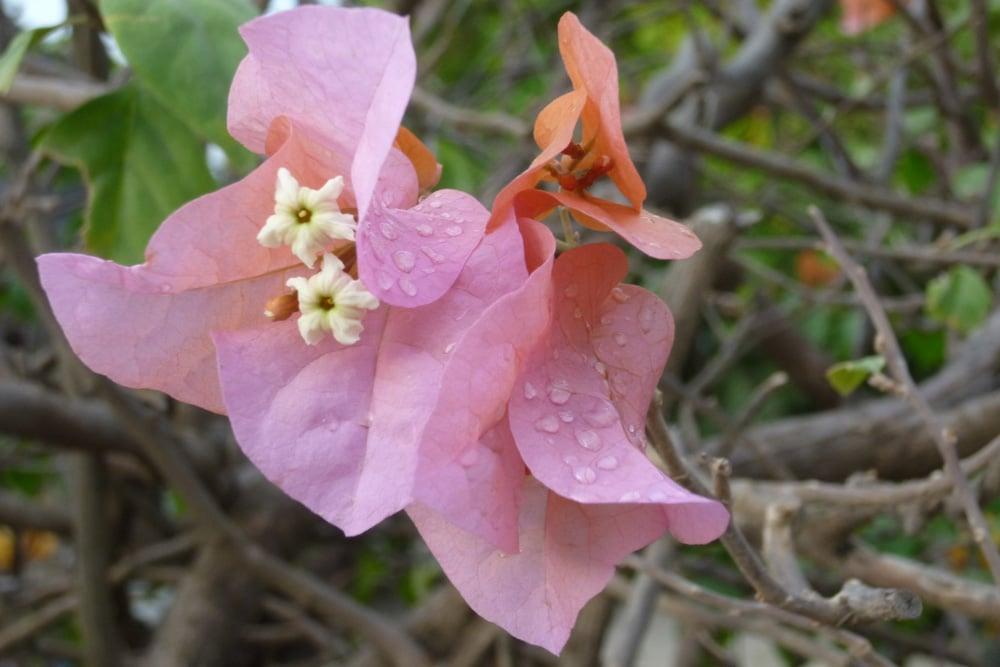 Bougainvillea - Drillingsblume - verliert Blätter