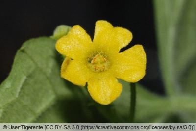 Blüte der mexikanischen Minigurke