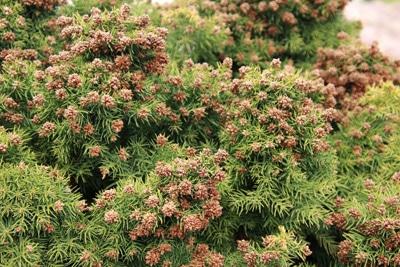 Japanische Sicheltanne - Cryptomeria japonica 'Monstrosa'