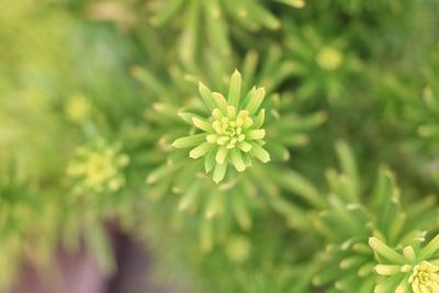 Kopfeibe - Cephalotaxus harringtonia 'Fastigiata'