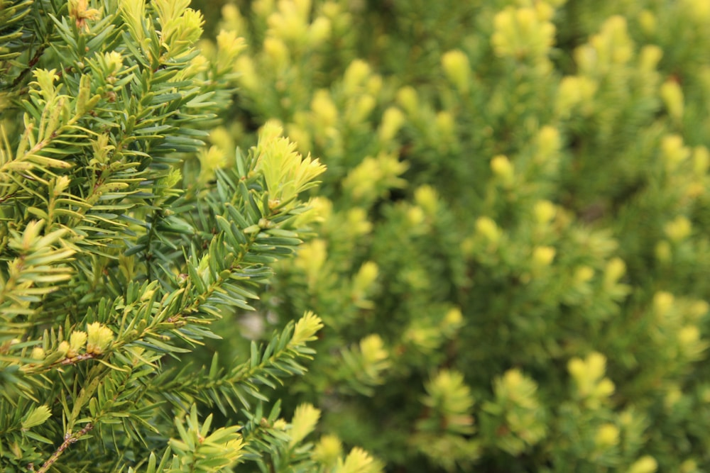Taxus media 'Hicksii' - Becher-Eibe