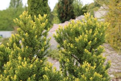 Taxus media 'Hicksii' - Becher-Eibe