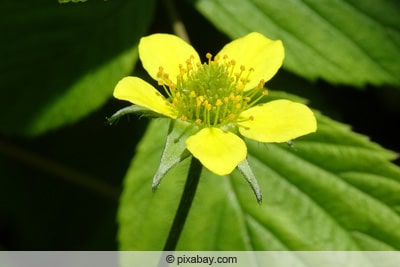 Brennender Hahnenfuss - Ranunculus flammula