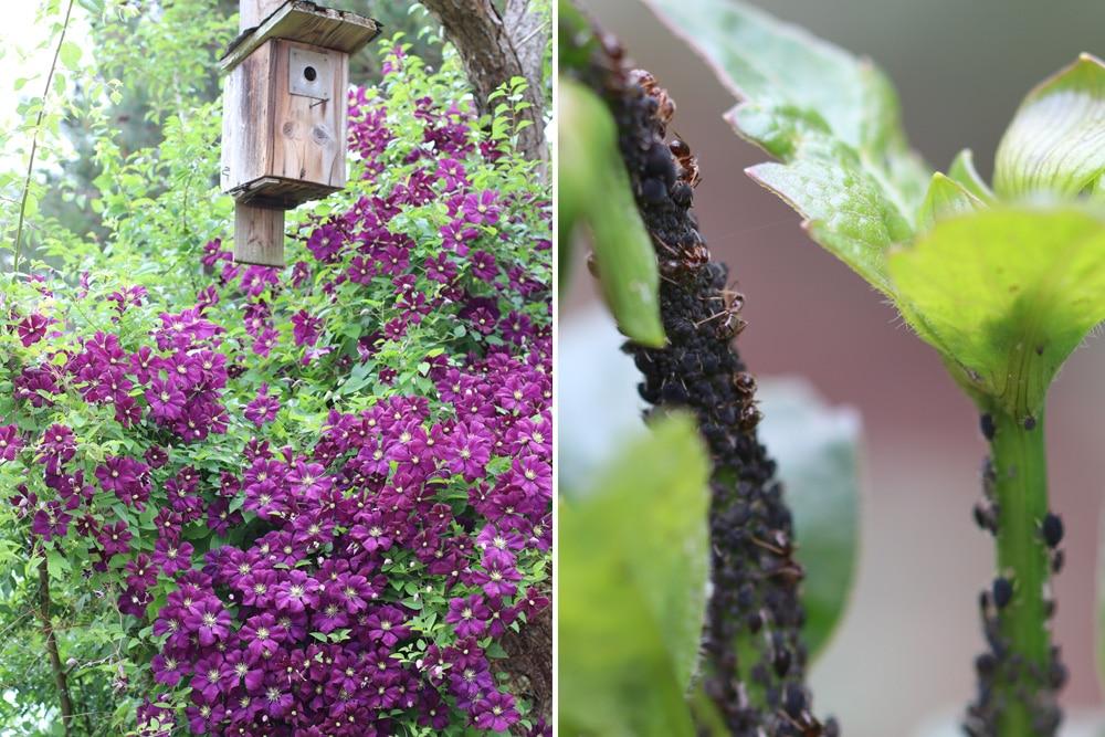 Clematis und Blattläuse