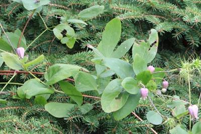 Clematis texensis mit Fraßspuren an Blättern