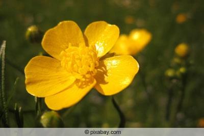 Scharfer Hahnenfuß - Butterblume - Ranunculus acris