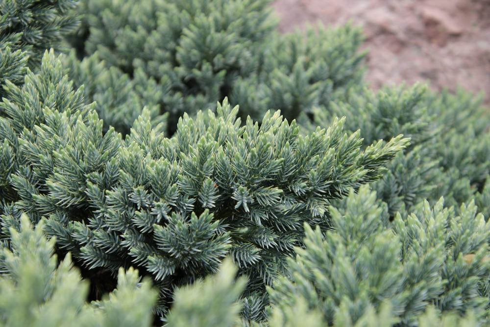 Blauer Zwergwacholder - Juniperus squamata