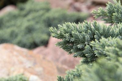 Blauer Zwergwacholder - Juniperus squamata 'Blue Star'