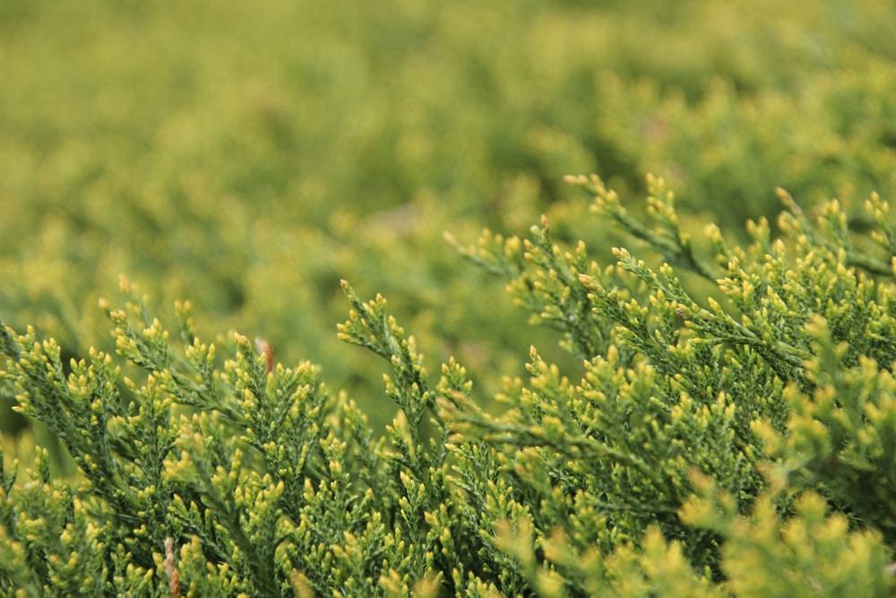 Teppichwacholder - Juniperus horizontalis