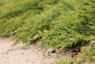 Teppichwacholder - Juniperus horizontalis 'Wiltonii'