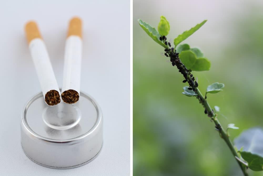 Zigaretten - Blattläuse