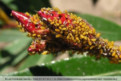Oleanderblattlaus - Aphis nerii