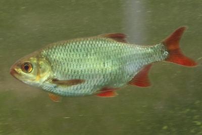 Rotfeder - Scardinius erythrophthalmus