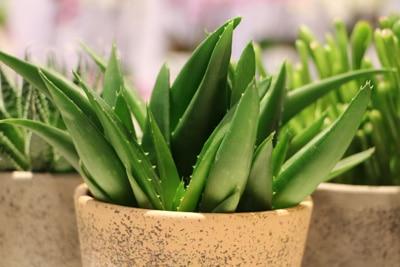Salbe der Aloe Vera als Hilfsmittel