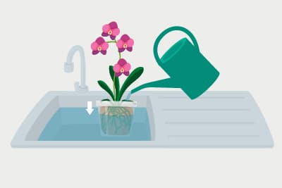 Tauchbad einer Orchidee